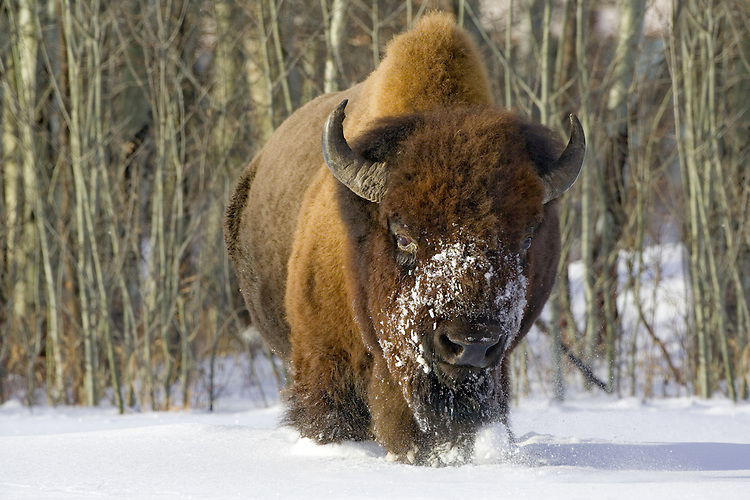 Plains Bison (Bison bison) running through the snow at Elk Island National Park, Alberta, Canada