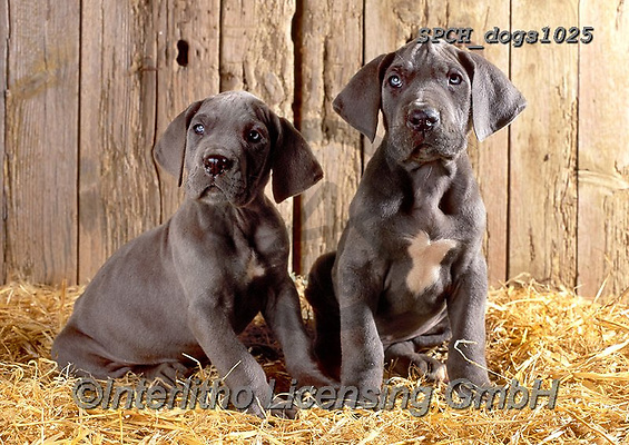 Xavier, ANIMALS, REALISTISCHE TIERE, ANIMALES REALISTICOS, dogs, photos+++++,SPCHDOGS1025,#a#, EVERYDAY