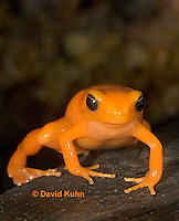 1102-07rr  Mantella aurantiaca - Golden Mantilla - © David Kuhn/Dwight Kuhn Photography