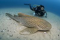 Leopard Shark, Zebra Shark, Stegostoma fasciatum; and diver with underwater camera, North Stradbroke Island; Brisbane; Queensland; Australia; South Pacific Ocean (MR)