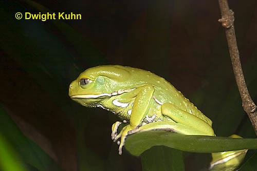 FR24-520z   Waxy Monkey Leaf Frog, Phyllomedusa sauvagii, Central and South America