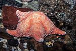 horse star eating algae