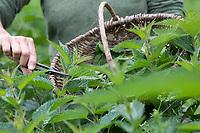 Brennnessel-Ernte, Brennnessel-Ernte, Brennnesseln werden in einem Korb gesammelt, Kräuterernte, Kräuter sammeln, Brennnessel, Brennnesseln, Große Brennnessel, Brennessel, Urtica dioica, Stinging Nettle, common nettle, nettle, nettle leaf, La grande ortie, ortie dioïque, ortie commune
