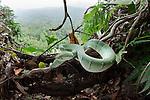 Adult Wagler's Pit Viper (Tropidolaemus wagleri) basking in mist-shrouded forest under storey. Danum Valley, Sabah, Borneo.