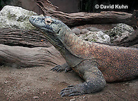 0208-08pp  Komodo dragon, Varanus komodoensis © David Kuhn/Dwight Kuhn Photography