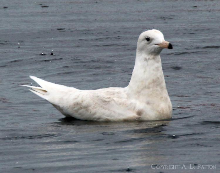 Glaucous gull first wiunter