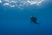 pelagic Atlantic sailfish, Istiophorus albicans, (considered by some to be a single species with Istiophorus platypterus), strikes a teaser bait, Yucatan Peninsula, Mexico (Caribbean Sea) near Contoy Island, Isla Mujeres, Cozumel, Cancun
