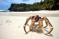 Coconut Crab on Dolly Beach, Christmas Island, Indian Ocean