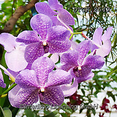 Gisela, FLOWERS, BLUMEN, FLORES, photos+++++,DTGK2549,#f#, EVERYDAY ,orchids