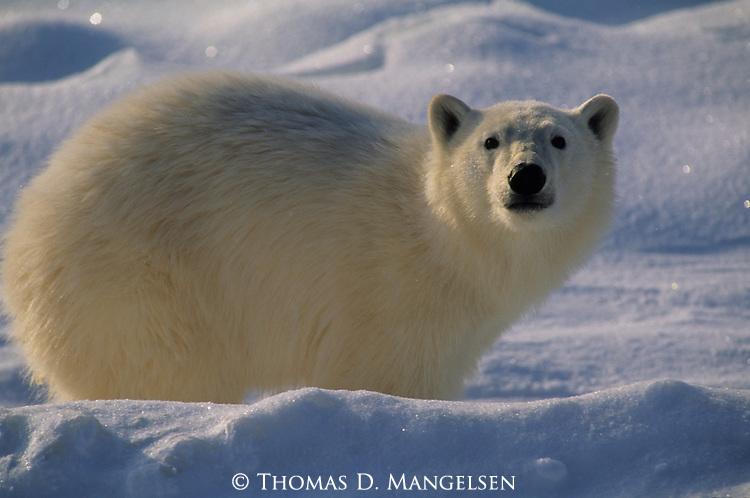 A portrait of polar bear cub in Canada.