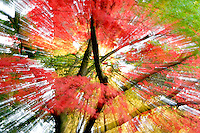 Fall colored japanese maples. Crystal Springs Rhododendron Gardens. Portland, Oregon