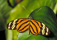 the heliconius ismenius butterfly. wildlife, animals, insects, butterflies. Florida, Butterfly World.