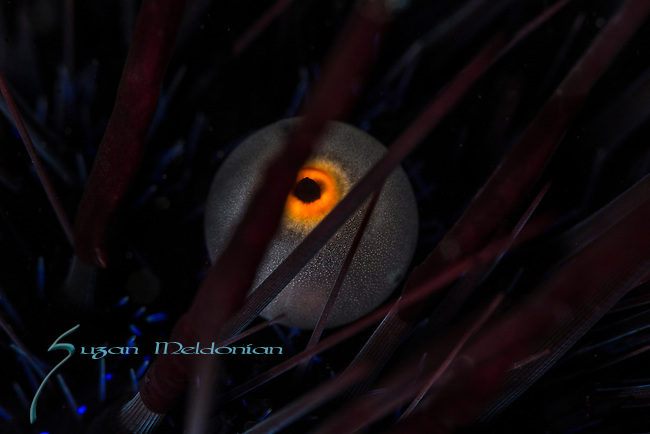 Black Longspine Sea Urchin, Diadema setosum, Anal Sac looks like an eye, Anilao