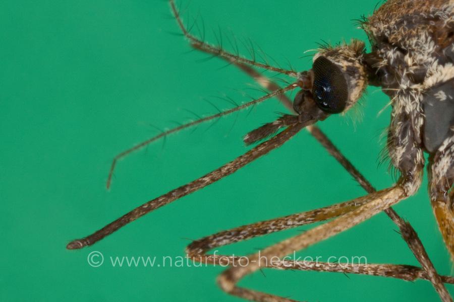 Stechmücke, Weibchen, mit langem Stechrüssel, Mundwerkzeug,  Mundwerkzeuge,  Aedes spec., (Aedes cf. vexans), mosquito, Stechmücken, Gelsen, Gelse, Culicidae