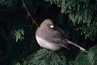 Dark-eyed Junco, Junco hyemalis, adult, Burlington, North Carolina, USA, January 2005