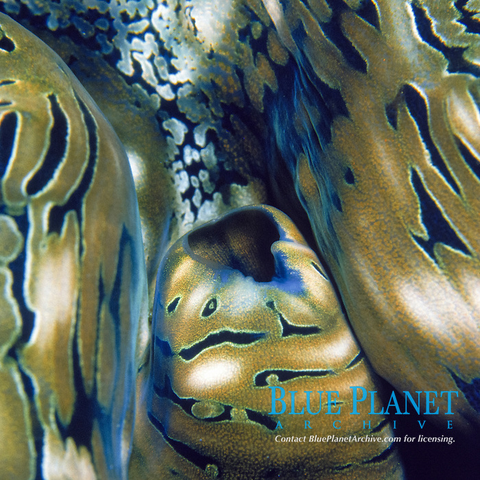 giant clam, Tridacna sp., detail Pacific Ocean