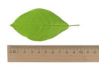 Traubenkirsche, Gewöhnliche Traubenkirsche, Prunus padus, European Bird Cherry, Merisier à grappes. Blatt, Blätter, leaf, leaves