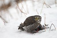 This pygmy owl was feeding on a pine grosbeak it had killed earlier in the day.
