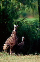 An Eastern Wild Turkey hen.