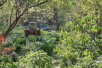 Spring woodland garden with native buckeye tree leafing out (Aesculus parviflora), Boninti Garden, Virginia