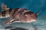 Whitespotted bamboo shark