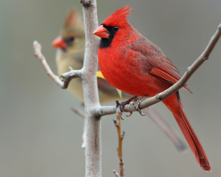 Northern Cardinals in late December.