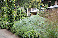 Pyramidal mound of gray foliage grass, sedge, Carex glauca, and columnar hornbeam accent trees in Gary Ratway garden