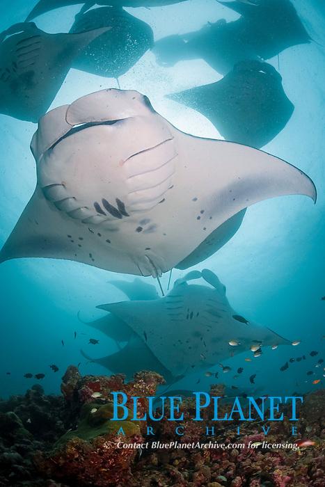 reef manta rays, Mobula alfredi, feeding on plankton, Hanifaru Bay, Hanifaru Lagoon, Baa Atoll, Maldives, Indian Ocean (dm)