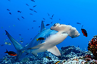 scalloped hammerhead, Sphyrna lewini, at cleaning station with juvenile Mexican hogfish, Bodianus diplotaenia, Cocos Island, Costa Rica, Pacific Ocean