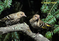 SW04-002z  Pine Siskin - Pine Finch - Carduelis pinus