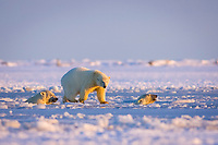 polar bear, Ursus maritimus, mother with cubs swim and play in the water and pack ice, 1002 coastal plain of the Arctic National Wildlife Refuge, Alaska, polar bear, Ursus maritimus