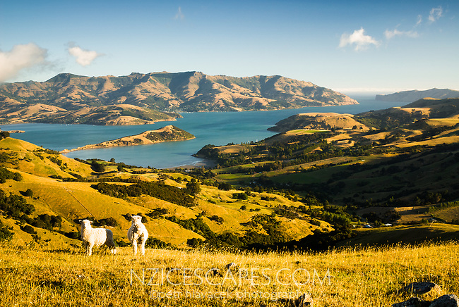 Sheep farm near Akaroa Harbour, Banks Peninsula, Christchurch, New Zealand, NZ