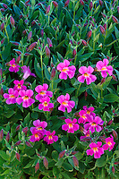 Lewis monkeyflower<br /> Kerr Valley<br /> Crater Lake National Park<br /> Cascade Range,  Oregon
