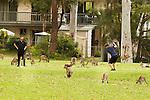 Eastern Grey Kangaroo (Macropus giganteus) mob grazing on golf course around men playing, Jervis Bay, New South Wales, Australia