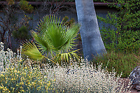 Washingtonia filifera, young California Fan Palm, California native tree in East Bay Regional Parks Botanic Garden