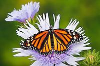 Monarch butterfly (Danaus plexippus) on Stokes' Aster (Stokesia laevis) flowers, summer, North America.