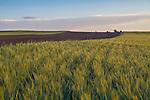 Wheat field in eastern Boulder, Colorado,
