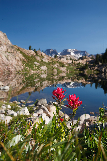 indian paintbrush wildflowers and a small lake in beartooth wilderness area in montana with the beartooth range in the background
