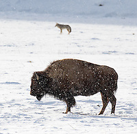 Bison are a classic winter subject in Yellowstone.  Here, a coyote joins the scene.