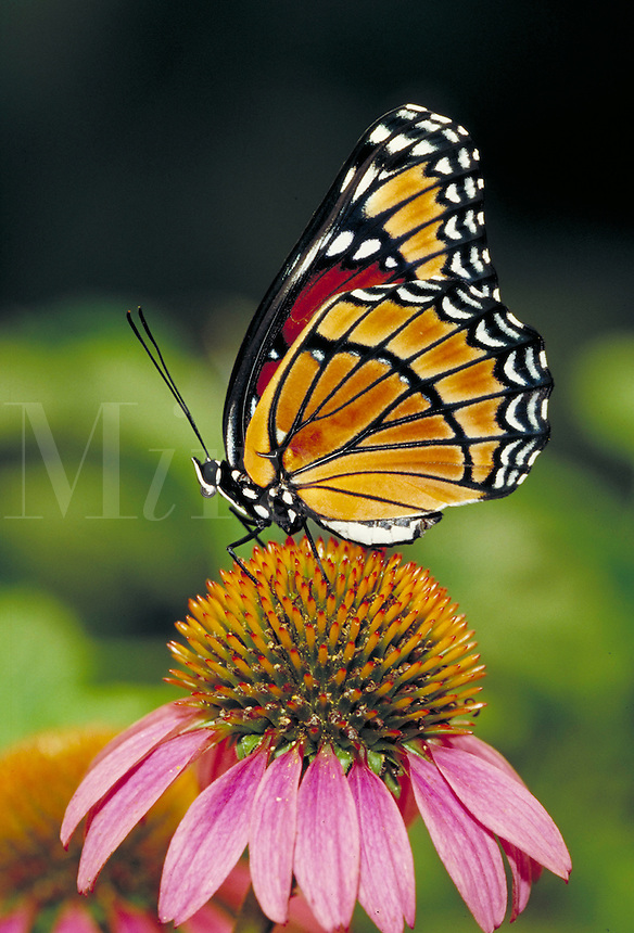 "LIMENITIS ARCHIPPUS, """"Viceroy Butterfly"""", on Purple Coneflower. Subfamily - Limenitidinae; Family - Nymphalidae; Order - Lepidoptera; Class - Insecta; Phyllum - Arthropoda; Kingdom - Animalia. NEW ORLEANS LOUISIANA USA AUDUBON ZOO."
