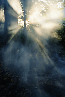 Sunbeams through forest (Licence this image exclusively with Getty: http://www.gettyimages.com/detail/200339717-001 )