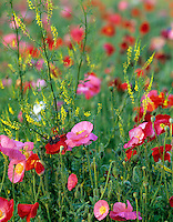 Mixed poppies in garden at Summer Lake Inn, Oregon