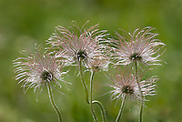 Wild Pasque Flower (Anemone patens) seed head.