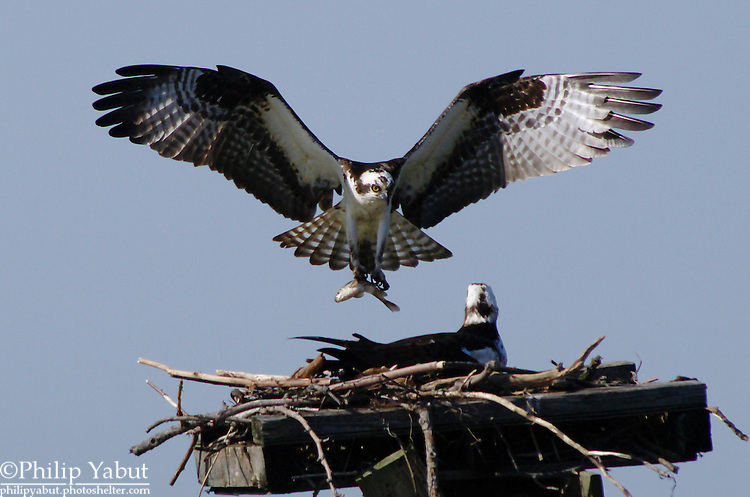 In a nest, the male osprey (Pandion haliaetus) provides food for his mate and chicks.<br />