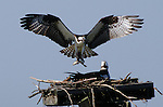 In a nest, the male osprey (Pandion haliaetus) provides food for his mate and chicks.<br /> <br /> Belle Haven Marina, Alexandria, Virginia