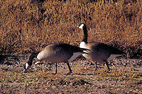 Canada Geese (Branta canadensis). . Most common and best-known goose. Grazing in open fields, animals, bird, birds. New Mexico, Bosque del Apache National Wildlife Refuge.
