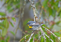 Yellow-rumped warbler (Dendroica coronata).  Pacific Northwest.  Spring.