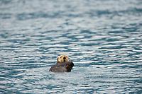 Sea otters in Harriman Fjord, Prince William Sound, Alaska.