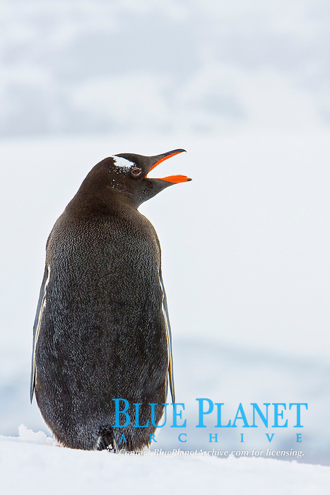 Adult gentoo penguins (Pygoscelis papua) at breeding colony on Petermann Island, Antarctica