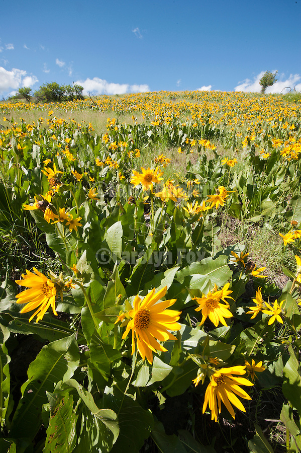 Mule's ear wildflowers cover a hillside along Oregon's John Day River Middle Fork in the Blue Mountains